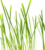 Green blade of grass - isolated. Spring grass, big blade, Isolated on white royalty free stock images