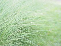 Green blade leaves grass in the field. Close up green blade leaves grass in the field for springtime and summer background Stock Photography