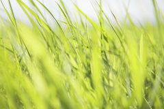 Green Blades of Grass Royalty Free Stock Photography