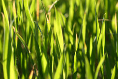 Green Blades of New Wheat. Under heavy sunlight Royalty Free Stock Photo