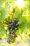 Green Blauer Portugeiser grape cluster in sunlight Stock Photography