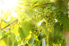Green Blauer Portugeiser grape clusters in sunlight Royalty Free Stock Photography