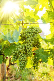Green Blauer Portugeiser grape clusters in sunlight Stock Photography