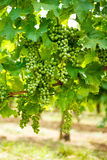Green Blauer Portugeiser grape clusters Royalty Free Stock Photos
