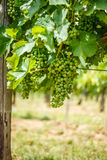 Green Blauer Portugeiser grape clusters Stock Images