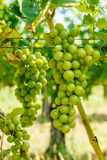 Green Blauer Portugeiser grape clusters Royalty Free Stock Image