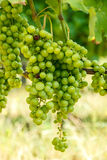 Green Blauer Portugeiser grape clusters Stock Image