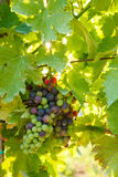 Green Blauer Portugeiser grape clusters Stock Photos