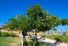 Green blooming acacia royalty free stock photos