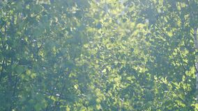 Green blooming birch leaves fluttering in the wind. Spring seasonal blossoming. Sun flare. Concept of nature.