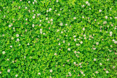 Green blooming clover Stock Photo