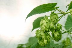 Green blooming liana of natural fresh hop plant with flowers. Summer and autumn time. Front view. royalty free stock image
