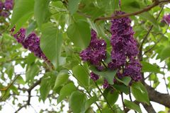 Green blooming lilac bush with leafs stock images