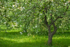 Green blossom apple tree orchard.  Royalty Free Stock Image