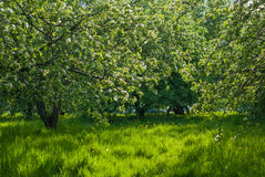 Green blossom apple tree orchard.  Stock Image
