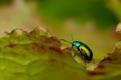 Green Blue Beetle. A little beetle crawling upon a leaf Stock Images