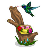 Green-blue bird Hummingbird and it nest with eggs Royalty Free Stock Photography
