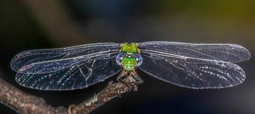 Green and blue dragonfly closeup Stock Photos