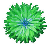 Green-blue flower on a white  background isolated  with clipping path. Closeup.  shaggy autumn Stock Photos