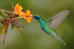Green and blue hummingbird Sparkling Violetear flying next to beautiful yelow flower. Green and blue hummingbird Sparkling Violetear flying next to beautiful Royalty Free Stock Photo