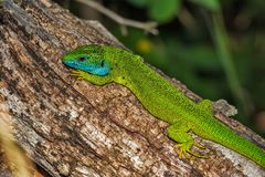 Green and Blue Lizard on Brown Wood Stock Photos