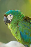 Green and blue parrot Royalty Free Stock Image