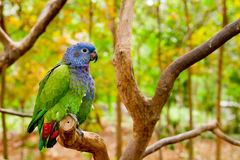 Green and blue parrot inthe wild Stock Photography