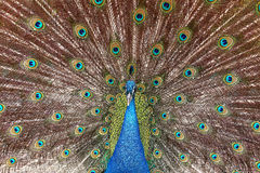 Green Blue peacock dissolved the tail. Royalty Free Stock Images