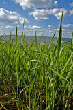 Green and  Blue Skies. A picture of a green cornfield in the foreground and blue skies Royalty Free Stock Image