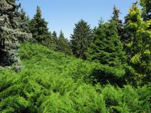 Green and blue spruce, a thicket of emerald coniferous shrubs against a bright blue cloudless sky. resting-place. For your design stock image