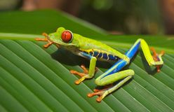 Green Blue Yellow and Orange Frog on Green Leaf Stock Photo