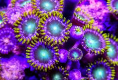 Green and blue zoanthid corals underwater royalty free stock photography