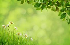 Green blurred background with daisy flowers, grass and spring br. Green blurred background with daisy flowers, grass and spring blossoming branches with small Stock Photo