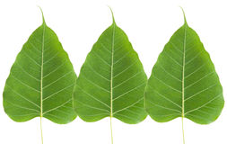 Green bo leaf Stock Photography
