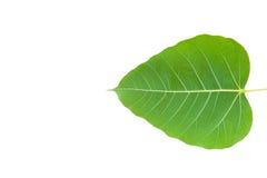 Green bo leaf Stock Image