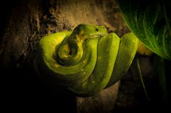 Green Boa Rolled up around a Branch. Snake shot in its vivarium of a zoo Stock Photography