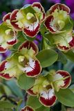 Green boat orchids blooming in the spring Stock Image