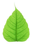 The green bodhi leaf isolated on white background Stock Images
