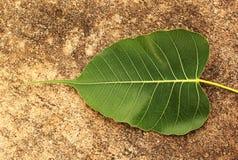 Green Bodhi Leaf Stock Photo