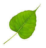 Green bodhi leaf vein. White background Royalty Free Stock Images