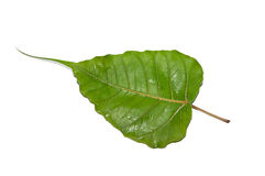 Green bodhi leaf vein. Isolated on white background royalty free stock photo