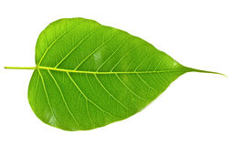 Green bodhi leaf vein Royalty Free Stock Photos