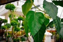 Green bodhi leaves stock photo