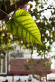 Green Bodhi tree leaf Royalty Free Stock Photography