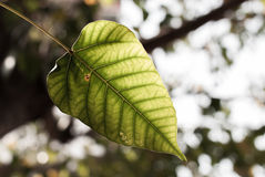 Green Bodhi tree leaf Royalty Free Stock Images