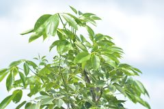 Green Bombax Ceiba Tree. Bombax ceiba, like other trees of the genus Bombax, is commonly known as cotton tree. Known as Semal or Shalmali in India Royalty Free Stock Images