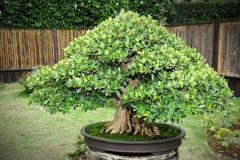 Green bonsai Royalty Free Stock Photography