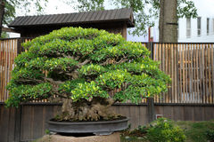 Green bonsai Stock Images