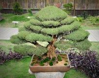 Green bonsai Royalty Free Stock Image