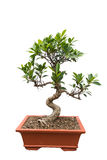 Green bonsai banyan tree. Isolated background Royalty Free Stock Images